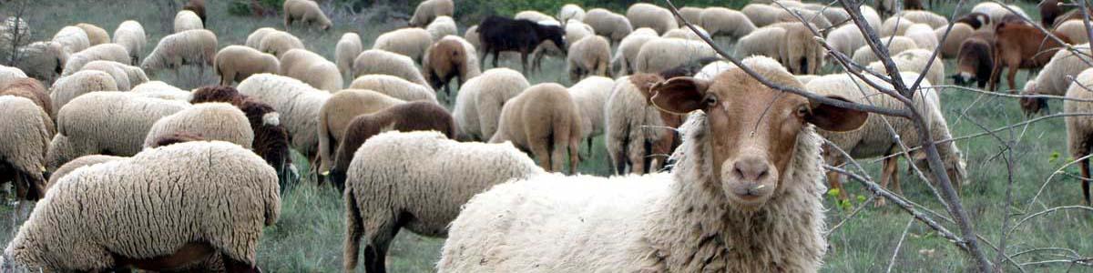 photo mouton-badeau-web